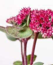 Große Fetthenne Red Cauli ®, Sedum telephium Red Cauli ®