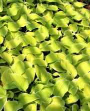 Weißgerandete Funkie Fragrant Bouquet, Hosta plantaginea Fragrant Bouquet