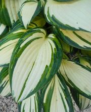 Graublaue Funkie Remember Me, Hosta tardiana Remember Me