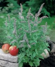 Apfelminze, Mentha suaveolens Apple Mint