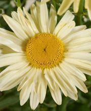 Großblumige Margerite Broadway Lights ®, Leucanthemum superbum Broadway Lights ®