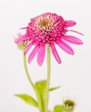 Scheinsonnenhut Pink Double Delight, Echinacea purpurea Pink Double Delight