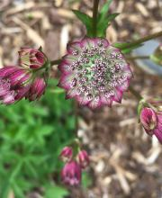 Sterndolde Roma ®, Astrantia major Roma ®