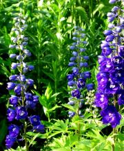 Hoher Rittersporn Royal Aspirations, Delphinium New Millennium Royal Aspirations