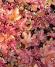 Purpurglöckchen Peach Flambe, Heuchera micrantha Peach Flambe ®