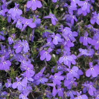Prächtige Lobelie Fan-Blue / Lobelia speciosa Fan-Blue