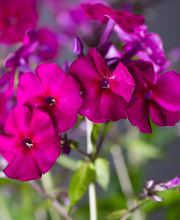 Hohe Garten-Flammenblume Purple Kiss, Phlox paniculata Purple Kiss