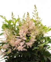 Prachtspiere Visions in Pink, Astilbe chinensis Visions in Pink ®