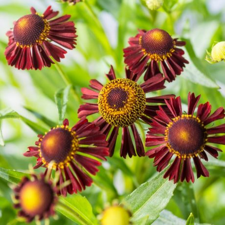 Sonnenbraut Ruby Tuesday ® / Helenium cultorum Ruby Tuesday ®