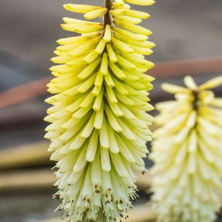 Fackellilie Ice Queen / Kniphofia uvaria Ice Queen