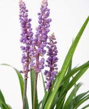 Glöckchentraube Moneymaker, Liriope muscari Moneymaker
