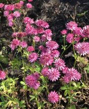 Sterndolde Venice ®, Astrantia major Venice ®