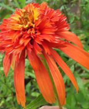 Sonnenhut Hot Papaya, Echinacea purpurea Hot Papaya ®