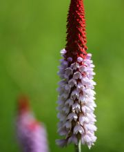 Orchideen Primel Red Hot Poker, Primula vialii Red Hot Poker