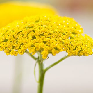 Hohe Gold-Garbe Summer Gold / Achillea filipendulina Summer Gold