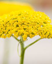Hohe Gold-Garbe Summer Gold, Achillea filipendulina Summer Gold