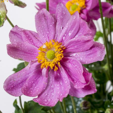 Herbst Anemone Pretty Lady Susan