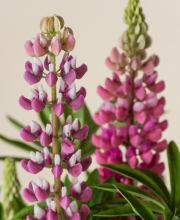 Lupine Camelot Rose ®, Lupinus polyphyllus Camelot Rose ®