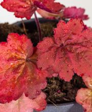 Samthaariges Silberglöckchen Autumn Leaves, Heuchera villosa Autumn Leaves ®