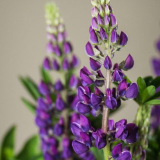 Lupine Camelot Blue ® / Lupinus polyphyllus Camelot Blue ®