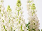 Lupine Camelot White ®, Lupinus polyphyllus Camelot White ®