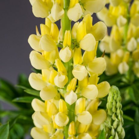 Lupine Camelot Yellow ®