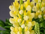 Lupine Camelot Yellow ®, Lupinus polyphyllus Camelot Yellow ®