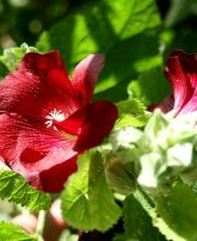 Stockrose Spotlight Series Mars Magic, Alcea rosea Spotlight Series Mars Magic