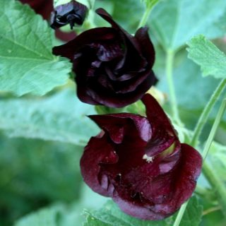 Einfachblühende Stockrose Blacknight / Alcea rosea Spotlight Series Blacknight