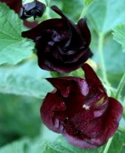 Einfachblühende Stockrose Blacknight, Alcea rosea Spotlight Series Blacknight