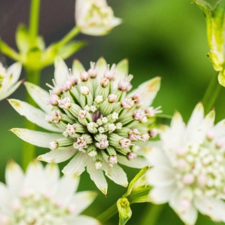 Sterndolde Star of Billion ® / Astrantia major Star of Billion ®