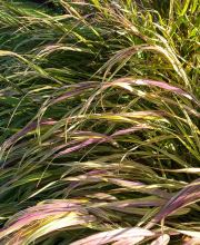 Garten-Ziergras All Gold, Hakonechloa macra All Gold