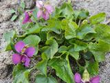 Duft-Veilchen Miracle, Viola odorata Miracle i.S. ®