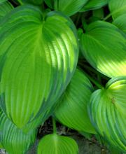 Funkie June Fever ®, Hosta tardiana June Fever ®