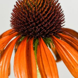 Scheinsonnenhut Tangerine Dream ® / Echinacea purpurea Tangerine Dream ®
