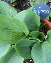 Funkie Empress Wu, Hosta cultorum Empress Wu