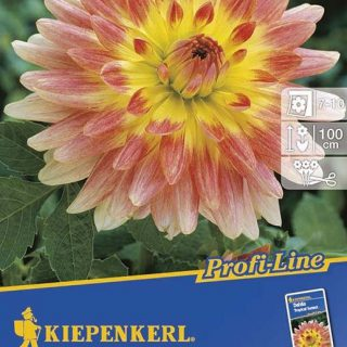 Dahlien Tropical Sunset / Kiepenkerl Dahlia-Hybriden Tropical Sunset