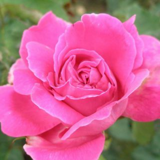 Historische Rose Mme Isaac Pereire / Rosa Mme Isaac Pereire