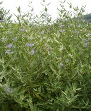 Bartblume Blue Cloud, Caryopteris clandonensis Blue Cloud
