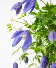 Alpenwaldrebe Frances Rives, Clematis alpina Frances Rives