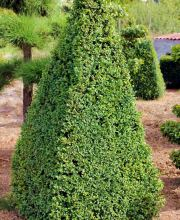 Buxus in Pyramindenform