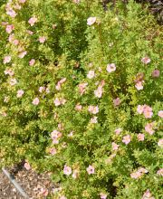 Fingerstrauch Pink Queen, Potentilla fruticosa Pink Queen