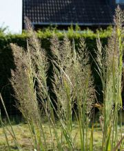 Diamantgras Summer Fountain , Calamagrostis brachytricha Summer Fountain