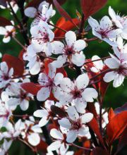 Blutpflaume Hollywood, Prunus Cerasifera Hollywood
