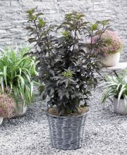 Rotlaubige Säulen-Fliederbeere Black Tower®, Sambucus nigra Black Tower